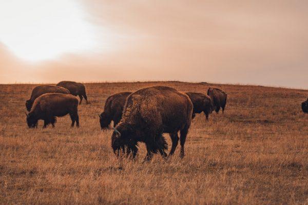 National Parks Bison Grazing